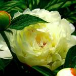 """""""Beautiful white rose"""" by Swmr152974"""