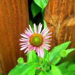 """""""Lone flower by a fence"""" by Swmr152974"""