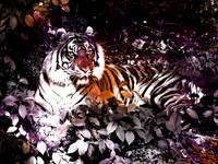 Tiger_in_the_morning_sun_Grunge_6