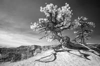 Bryce Canyon Tree - infrared landscape