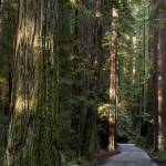 """Bull Creek Road, Humboldt Redwoods State Park, Cal"" by davidhowell"