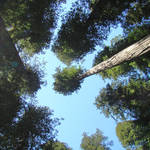 """Redwood Trees Fine Art Prints Blue Sky Holidays"" by BasleeTroutman"