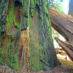 """Redwood Trees fine art prints Big Redwoods"" by BasleeTroutman"