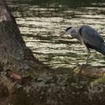"""Heron, Roath Park Lake - Cardiff"" by ajcronin"