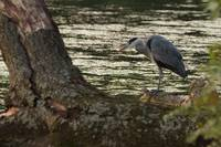 Heron, Roath Park Lake - Cardiff