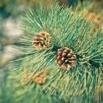 """Pine cone"" by laurentzziu"