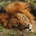 """The Lion Sleeps Tonight"" by Dick_Wood"