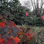 """Oak Leaf Hydrangea & Roses - late Fall"" by MichaelKarasik"