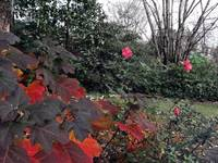 Oak Leaf Hydrangea & Roses - late Fall