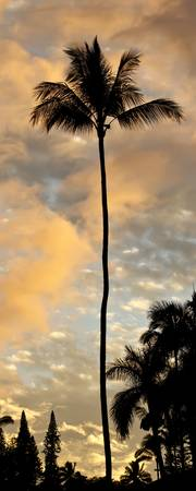 Hawaii Tall Palm Tree