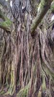 Ancient Maui Banyan Tree