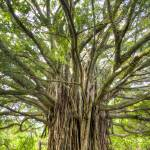 """Ancient Banyan Tree Maui Hana Hawaii"" by DustinKRyan"