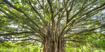Ancient Banyan Tree Maui Hana Hawaii