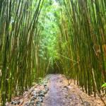 """Bamboo Forest Trail Hana Maui Hawaii 2"" by DustinKRyan"