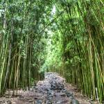 """Bamboo Forest Trail Hana Maui Hawaii"" by DustinKRyan"