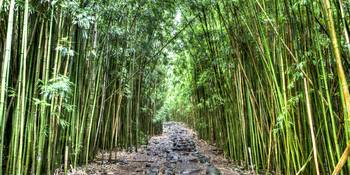 Bamboo Forest Trail Hana Maui Hawaii