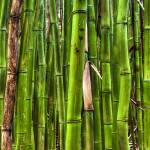 """Bamboo Forest Maui Hana Hawaii"" by DustinKRyan"