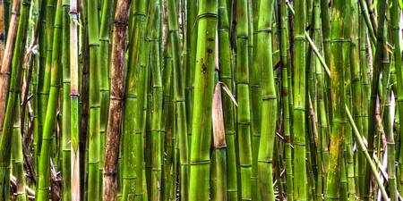 Bamboo Forest Maui Hana Hawaii