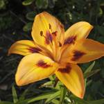"""""""Lily Bloom"""" by cofiante"""