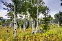 Aspen Trees Teton National Park