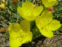 Botanical - Yellow Sundrops - Outdoors Floral