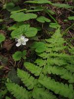 Bracken Fern & Flower