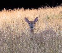 Deer in Grass