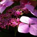 """""""Hydrangea In Sunshine"""" by sunface13"""