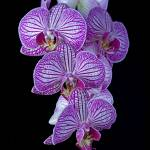 """Purple Veined Orchid"" by ianjeffrey"