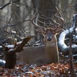 """""""Bedded Buck Deer"""" by dteetor2"""