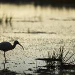 """White Ibis Stocks Food in the Shallows"" by DustinKRyan"