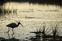 White Ibis Stocks Food in the Shallows