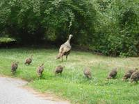 Mamma Turkey & Family