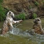 """White tigers"" by johnsonmoya"
