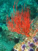 RedWhipCoral