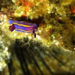 """Nudibranchs1"" by scubaelite"