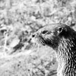 """Otter"" by davidanderson"