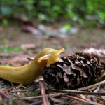 """Banana Slug"" by jgummerman"