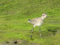 Black-bellied Plover (2)