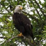 """Bald Eagle"" by jgummerman"