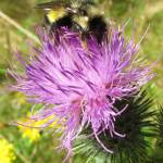 """""""Bumble Bee and Thistle"""" by jgummerman"""