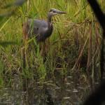 """""""Great Blue Heron"""" by jgummerman"""