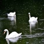 """""""Mute Swan"""" by kuart"""