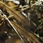 """Wild Grass Gridlines  (please press L for Flickr r"" by rosearodoe"