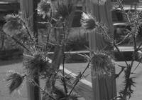 Thistle Fence In Gray Scale