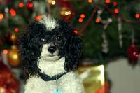 A Toy Poodle at Christmas