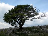 Tree in the Wind, Malham, England