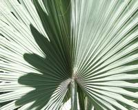 Palm Shadowed