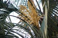 Date Palm Bloom