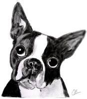 Stunning Quot Boston Terrier Quot Drawings And Illustrations For